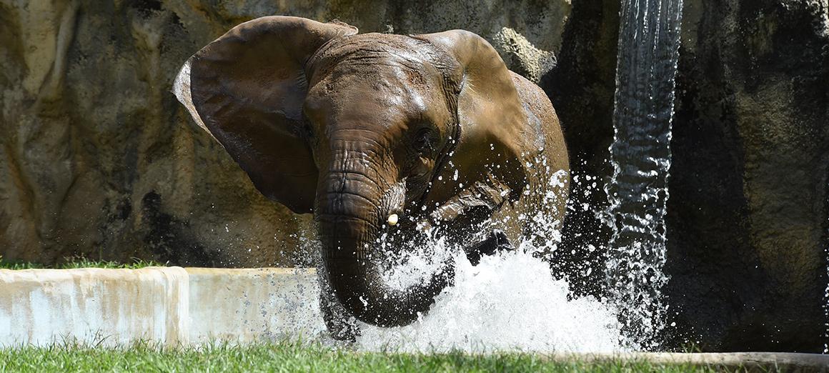 Elefante del Zoológico de Mayagüez